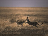 A Pair of Cheetahs Play with One Another Photographic Print by Jason Edwards