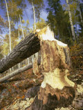 A Tree Knawed on by a Beaver Photographic Print by Bill Curtsinger