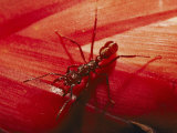 Solitary Red Ant Photographic Print by Bill Curtsinger