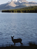 Mule Deer Standing on the Edge of Maligne Lake Photographic Print by Dean Conger