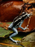 Poison-Dart Frog Photographic Print by George Grall