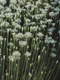 Garlic Chives, Whose Growth is Encouraged by Nipping the Flowers Photographic Print by Sam Abell