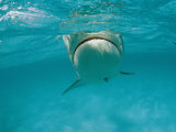 A Tiger Shark Swims in the Ocean Photographic Print by Bill Curtsinger