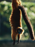 A Captive Red-Ruffed Lemur Hangs from a Tree Photographic Print by Roy Toft