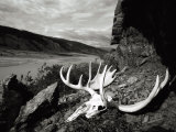 A Moose Skull Lays Along the Rocky Coast of the Alsek River in Alaska Photographic Print by Barry Tessman
