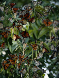 Monarch Butterflies Flock Together Photographic Print by George Grall
