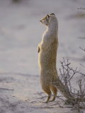 A Yellow Mongoose Stands on its Hind Legs to Survey the Surrounding Area Photographic Print by Nicole Duplaix