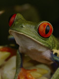 Red-Eyed Tree Frog Photographic Print by Michael Nichols
