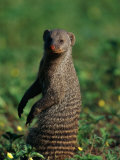 A Banded Mongoose Sits Upright to Get a Better Look at Things Photographic Print by Beverly Joubert