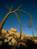 A Boojum Tree Photographic Print by Tim Laman