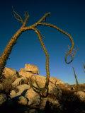 A Boojum Tree Photographic Print by Tim Laman
