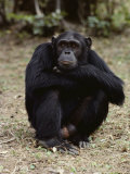 A Close-up of One of the Many Chimpanzees at Gombe Stream National Park Photographic Print by Kenneth Love