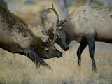 Young Bull Wapitis Spar at the Start of the Fall Rut Photographic Print by Raymond Gehman