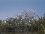 A Flock of Wood Ibises Rest on Tree Branches Photographic Print by Willard Culver