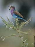 A Lilac-Breasted Roller Vocalizes While Perched on a Branch Photographic Print by Roy Toft