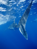 A Tail-End View of a Whale Shark Photographic Print by Brian J. Skerry