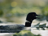 A Swimming Male Loon in Breeding Plumage Emits a Call Photographic Print by Michael S. Quinton