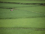 Woman Tends Terraced Rice Paddies Photographie par Steve Raymer