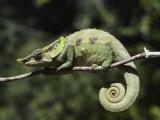 Close View of a Chameleon Fotografie-Druck von Nicole Duplaix