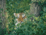 A Siberian Tiger Peers Through the Trees Photographic Print by Dr. Maurice G. Hornocker