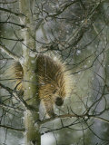 A North American Porcupine Climbs Down a Tree in the Snow Fotografiskt tryck av Michael S. Quinton