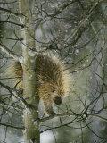 A North American Porcupine Climbs Down a Tree in the Snow Stampa fotografica di Quinton, Michael S.