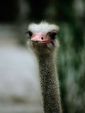 A Close View of the Face of a Captive Ostrich Photographic Print by Tim Laman
