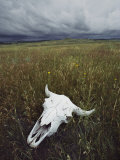 A Lone Bison Skull Nestled in the Grasses of Custer State Park Fotodruck von Annie Griffiths Belt