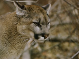 The Head of a Mountain Lion Photographic Print by Dr. Maurice G. Hornocker