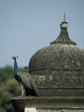 A Peacock Rests on the Ledge of a Temple Photographic Print by Jason Edwards