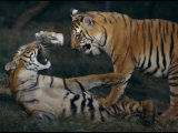 Two Bengal Tiger Cubs Wrestle Inside Their Enclosure Photographic Print by Michael Nichols