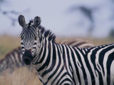 Plains Zebra Photographic Print by Michael Nichols