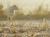 A White Cow Standing in a Harvested Cornfield Photographic Print by Kenneth Garrett