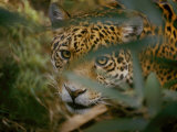 A Jaguar Peers Through a Cluster of Leaves Photographic Print by Jason Edwards