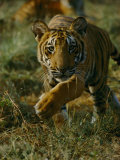 Tiger in an Enclosure at Madhav National Park Photographic Print by Michael Nichols