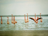 Flamingoes in the Water Photographic Print by James L. Stanfield