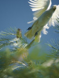 A Little Corella Cockatto Takes Flight from a Pine Tree Photographic Print by Jason Edwards