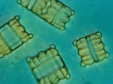 Diatoms Photographic Print by Darlyne A. Murawski