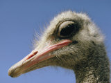 Close View of an Ostrich Photographic Print by Dick Durrance