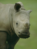A Southern White Rhinoceros Photographic Print by Michael Nichols