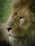 Close View of a Lion Photographic Print by Jason Edwards