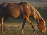 A feral mustang grazes on land designated as a wild horse sanctuary Fotografie-Druck von Annie Griffiths Belt