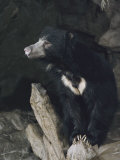 A Sleepy Sloth Bear Takes a Breather Outside its Cave Reproduction photographique par Joseph H. Bailey