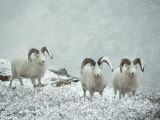 Three Dalls Sheep Look up from a Snowy Ledge Photographic Print by Michael S. Quinton