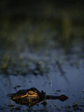American Alligator Photographic Print by Raymond Gehman