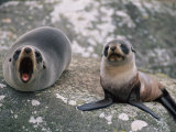 New Zealand Fur Seal and Her Pup Lounge on a Rock Photographic Print by Annie Griffiths Belt