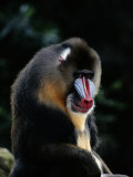 A Portrait of a Captive Mandrill Photographic Print by Tim Laman