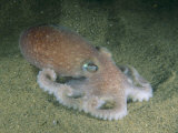 Octopus Photographic Print by Brian J. Skerry