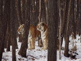 Two Siberian Tigers Survey the Countryside Photographic Print by Dr. Maurice G. Hornocker