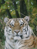 A Portrait of an Adult Siberian Tiger Photographic Print by Dr. Maurice G. Hornocker